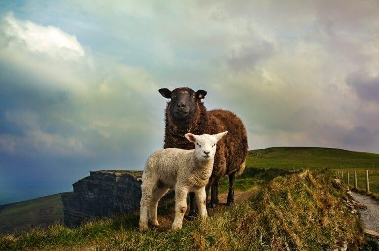 Sheep pic